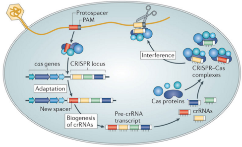 Figure 2: The CRISPR-Cas System Mechanism Source: Samson, Magadán ...