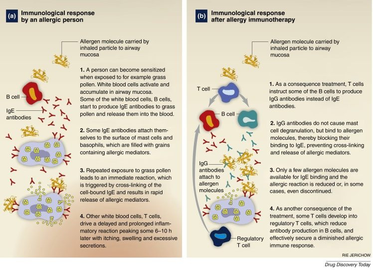a response of the immune system to allergies ans asthma True drug allergies are rare and caused by the immune system an allergic reaction is an abnormal response of the immune system to a normally harmless substance the job of the immune system is to find foreign substances, such as viruses and bacteria, and get rid of them.